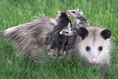 Mothers - animal kingdom Possums have one of the shortest pregnancies at 16 days. The shortest human pregnancy to produce a healthy baby was 22 weeks, 6 days -- the baby was the length of a ballpoint pen.