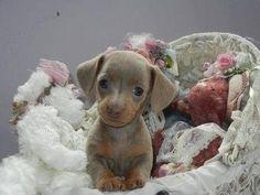 Baby Dachshund
