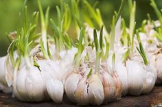 Container Gardening For Beginners Growing Garlic for Beginners. I really don't know too many people who don't like, if not love, the taste of garlic. We easily use bulbs of garlic a Garlic Sprouts, Garlic Seeds, Grow Garlic, Fresh Garlic, How To Plant Garlic, Garlic Tea, Garlic Soup, Organic Garlic, Gardening For Beginners