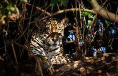 Jaguar (Panthera onca) Pantanal, Pocon , Brazil.  elusive jaguars in their natural habitat: the Brazilian Pantanal, the world's largest tropical wetland area.