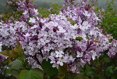 봄꽃힐링- 라일락