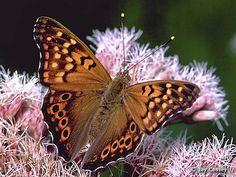Fotografia mariposa anaranjada   01-10-2014
