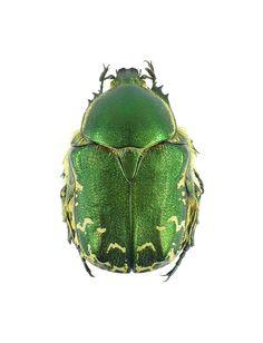 Netocia prototricha, caught 28th April 1972, at Aktash, 1500m, Tashkent, Uzbekistan. Pictorial beetle collection of the Royal Belgian Institute of Natural Sciences
