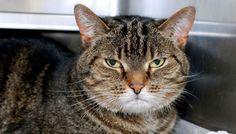 Gabbie-a-senior-adoptable-Tabby