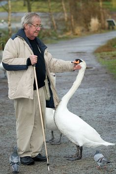 An odd couple :) This is Burt. he has been feeding and friends with the muted swans in Stanley park for many many years. There is only one other person I have ever seen that they allow to touch without retaliating or biting. It is amazing to see how all of them look forward to his visits.  Burt is in his late 70's and goes to the lagoon almost every day.