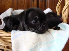 Buggs puppies!!