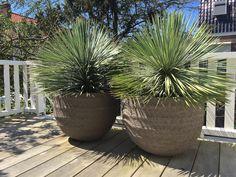 Yucca rostrata in pot van Atelier Vierkant
