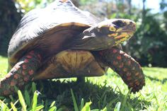 Did you know we now have a Tortoise Petting Zoo at Sarasota Jungle Gardens? Zoo Animals, Animals And Pets, Sarasota Jungle Gardens, Red Footed Tortoise, Petting Zoo, Adorable Animals, Turtles, Wander, Pets