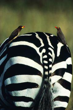Zebra bum ✿⊱╮