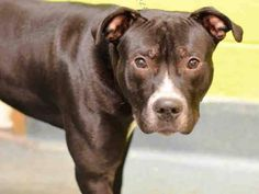 TO BE DESTROYED - 12/17/14 Brooklyn Center -P  My name is RICCO. My Animal ID # is A1021981. I am a male black and white am pit bull ter mix. The shelter thinks I am about 10 MONTHS old.  I came in the shelter as a STRAY on 11/30/2014 from NY 11231, owner surrender reason stated was PERS PROB.