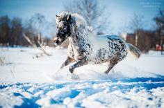 seal brown pintaloosa - unknown horse