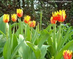La Tulipomanía, una breve historia de cómo empezó la comercialización y el furor por los Tulipanes en Holanda. Foto: Tulipanes rojos y amarillos en la Promenade Plantée, Paris.