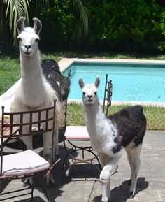 - Do you invite all of your friends to your pool? - Why yes, I invite all llama friends.