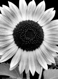 Sunflower  in Black & White.