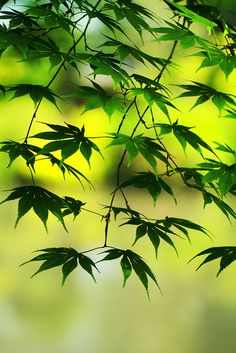 imalikshake:  Japanese maple leaves in spring by Spice ♥ Daddy and Baby Rheina on Flickr. NATURE BLOGGER. Follow me:www.imalikshake.tumblr.c...