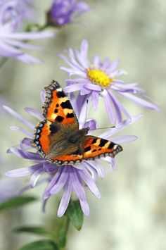 An poster sized print, approx mm) (other products available) - Small tortoiseshell on aster at Dartington. - Image supplied by Fine Art Storehouse - poster sized print mm) made in the UK Fine Art Prints, Canvas Prints, Framed Prints, Chenille, Beautiful Butterflies, Butterflies Flying, Tortoise Shell, Photographic Prints, Poster Size Prints