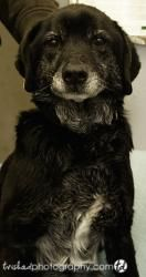 Sugar SOAR is an adoptable Flat-Coated Retriever Dog in Kansas City, MO. Sugar is a very friendly lab/retriever mix. She was wearing a red collar when found. She appears to be very well mannered. We d...