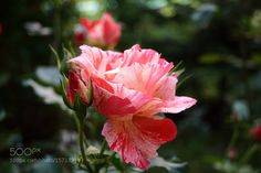Rose bicolor by MarilenaIordache #nature #photooftheday #amazing #picoftheday