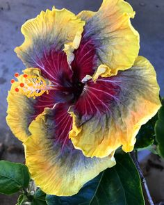 Tahitian Purple Passion Hibiscus