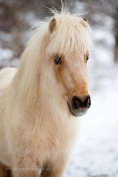 Palomino Shetland pony. - Pony - Horse Picture
