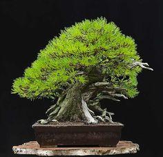 Ralf Steiner from Krefeld, Germany mugo pine new pot by Walter Venne