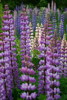 How to Plant Lupine Seeds. My lupines have hundreds of seed pods. Blue Garden, Happy Paintings, Japanese Flowers, Seed Pods, Garden Trees, Indoor Plants, Gardening Tips, Flower Power, Wild Flowers