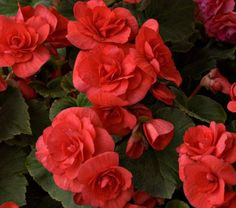 Proven Winners - Solenia® Chocolate Orange - Rieger Begonia - Begonia x hiemalis orange plant details, information and resources. Red Orchids, Red Flowers, Red Roses, Beautiful Flowers, Orange Plant, Pink Plant, Red Plants, Shade Plants, Begonia