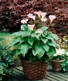 Pale Pink Calla Lily - Tuber Zantedeschia aethiopica 'Pink Mist'   Very graceful flowers that blend from white to pink with a deep pink heart at the bottom of the calyx. This plant looks beautiful in a pot on the patio and does not mind being given plenty of water
