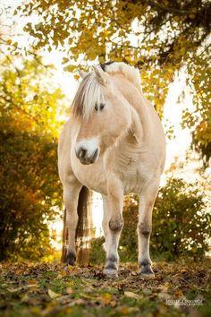 Pferde in der Natur - Monika Bogner Photography Cute Horses, Pretty Horses, Most Beautiful Horses, Animals Beautiful, Equine Photography, Animal Photography, Animals And Pets, Cute Animals, Fjord Horse