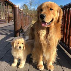"66.1k Likes, 899 Comments - Golden Retrievers (@goldenretrievers) on Instagram: ""10 Big/Little Duos ❤️ Follow them @wedontretrievegold @pnwgoldenboys @todandvixey_…"""