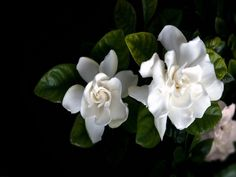 White Gardenias-My very favourite flower on earth and they don't grow in England.  :(