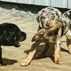 Catahoula sweden, Louisiana catahoula Sverige, vildsvinshundar, vildsvinsjakt