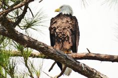 Bald eagle in Gulf State Park