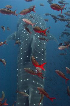 Whale shark & gorgeous red friends