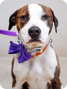 Detroit, MI - American Staffordshire Terrier/American Pit Bull Terrier Mix. Meet Caramel, a dog for adoption. http://www.adoptapet.com/pet/8916321-detroit-michigan-american-staffordshire-terrier-mix