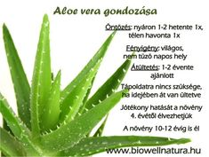 Many people are aware of the fact that Aloe Vera is an excellent way to deal with sunburns. Yet, very small number of people knows that Aloe Vera can be used in many other situations. The first records about the medicinal use o. Natural Acne Remedies, Herbal Remedies, Aloe Vera Uses, Systemic Inflammation, Relieve Constipation, Homeopathic Medicine, Natural Health, Herbalism, Health Benefits