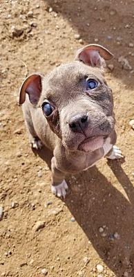 Phoenix Az American Pit Bull Terrier Meet Lily I Am A Puppy A