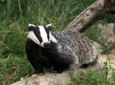 Badgers are small mammals that are ferocious hunters and members of the largest family of carnivores.