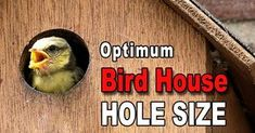 Bird house hole size (Best Dimensions). Learn the optimum ENTRANCE HOLE SIZE, entrance height, and mounting height for various birds.