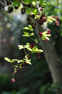 Zingy green leaves offset against deep purple chocolate scented flowers of Akebia quinata in spring