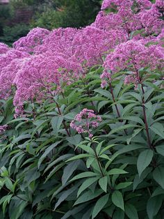 """A new choice of """"Joe-Pye weed"""" flowering July to September. Robust plants carry wine-red coloration, particularly in the stems. Eupatorium G..."""
