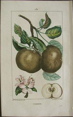 Turpin, Pommier, (apple-tree) - Pierre John Francois TURPIN Stipple-engraved after drawings by PJF Turpin from Flore Medicale, 1814-1818.