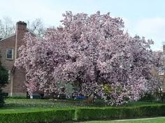 Image result for Tupelo trees bees