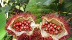 Frutas más Exóticas y Raras del Mundo ACHIOTE O URUCU