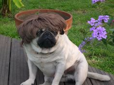 The latest Pug hairstyle. Every pug is sporting this is London, Milan, Paris and New York! Miniature Schnauzer Puppies, Schnauzer Puppy, Funny Pug Pictures, Pug Names, Dog Suit, Popular Dog Breeds, Gifts For Dog Owners, Dog Costumes, Pug Love
