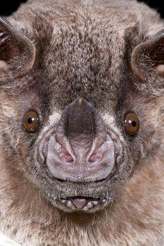 "Jamaican leaf-nosed bat. Ever wonder how bats ""See"" in the dark?     http://www.uhaul.com/SuperGraphics/264/2/Enhanced/Venture-Across-America-and-Canada-Modern/Missouri/Echolocation"