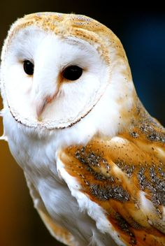 Magnificent Barn Owl