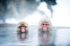 温泉に入浴するカメラ目線の二頭の猿 (c)Yusuke Okada/a.collectionRF