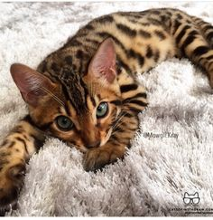love love this cat, for sure no matter what is gonna be my next cat.. exotic house cats!