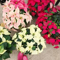 With Style & Grace   Poinsettias at the Farmers' Market